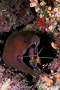giant moray eel, Gymnothorax javanicus, <br /> being cleaned by humpback cleaner shrimp, <br /> Lysmata amboinensis, Sipadan Island<br /> off Borneo, Sabah, Malaysia ( Celebes Sea )