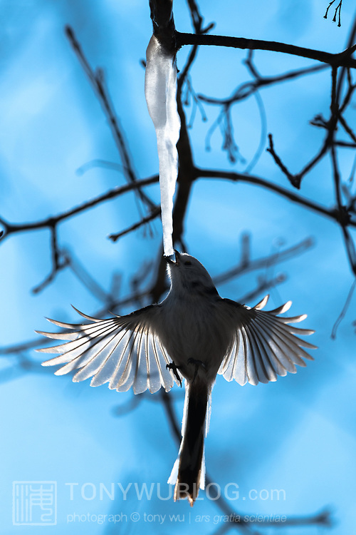 This is a long-tailed tit (Aegithalos caudatus) hovering under an icicle formed from the sap of a painted maple tree (Acer pictum). During winter months, small birds like this make use of this calorie-rich food source (essentially frozen maple syrup) to fuel their high metabolisms. The birds fly to an icicle, hover, break off a piece and fly away, all in the blink of eye.