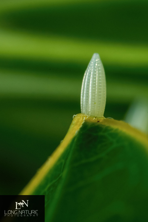 Sulphur butterfly egg on Cassia. Photographed in Lady Lake, Florida USA