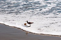 United States, California, Laguna Beach. Laguna Beach is a seaside resort city and artist community located in southern Orange County. A Willet looking for food at the beach.