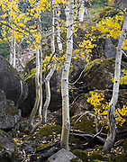 Aspen trees growing amid large boulders on the slopes of Mt Hood, Oregon weave upwards with twisting trunks topped by the yellow leaves of fall.