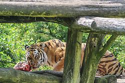 THEMENBILD - Der Sibirische Tiger bei der Füterung, auch Amurtiger oder Ussuritiger genannt, ist eine Unterart des Tigers und die größte lebende Katze der Welt, aufgenommen am 19.05.2019 im Tiergarten Schönbrunn in Wien, Österreich // The Siberian Tiger in feeding, also known as Amurtiger or Ussuritiger, is a subspecies of the tiger and the largest living cat in the world, pictured on 2019/05/19 at the Tiergarten Schönbrunn at Vienna, Austria. EXPA Pictures © 2019, PhotoCredit: EXPA/ Lukas Huter