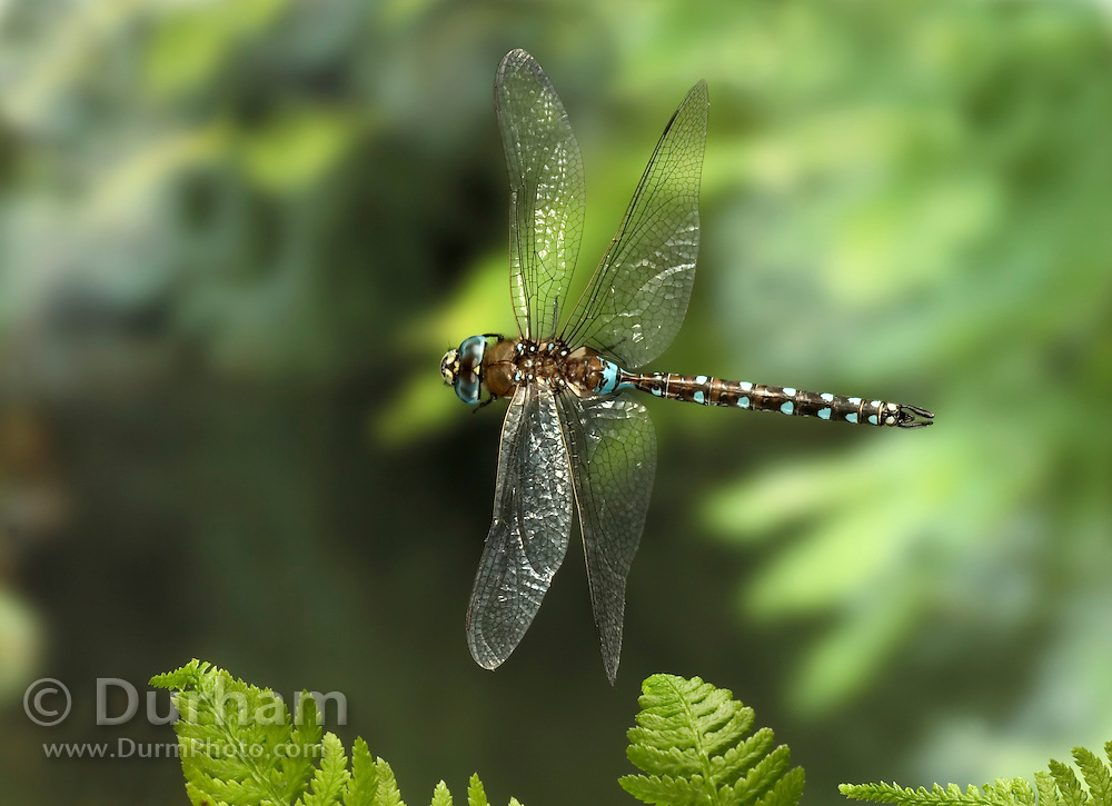 A california darner (Rhionaeschna californica)photographed with a high-speed camera in the coastal mountains of Oregon. Please note: This image has been digitally repaired. The tip of one wing was cropped out of frame. The background was expanded and the wing tip cloned from the identical opposite wing tip. Origianl camera files are avaialble upon request.