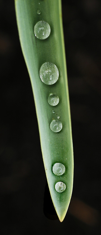 Resembling peas in a pod, raindrops align in the valley of a tulip leaf, magnifying it's structure. (Tom Reese / The Seattle Times, 2007)