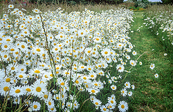 Meadow area at Watch Place with Leucanthemum vulgare - Ox-eye daisies