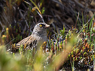 Volcano Junco (Junco vulcani) is a sparrow species endemic to the high mountains of Costa Rica and western Panama. Cerro de la Muerte, Costa Rica.