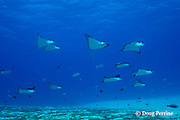 schooling spotted eagle rays, Aetobatus narinari, are accompanied by whitemargin unicornfish and forktail rabbitfish, which feed on their droppings, at Eagle Ray City, Saipan, Commonwealth of Northern Mariana Islands, Micronesia ( Western Pacific Ocean )