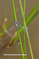 06033-001.03 Sweet Flag Spreadwing (Lestes forcipatus) male in wetland, Marion Co. IL