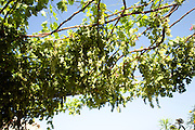 Grape vines against blue sky, Rhodes, Greece