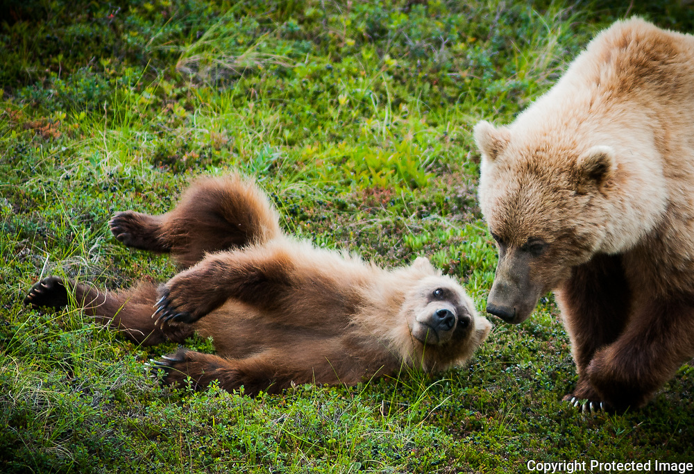 While frolicking around, a grizzly cub looks up at its mother at Sable Pass in Denali National park in Alaska. This area is permanently closed to hiking between miles 37-43 because bears pass through frequently.  <br /> -2009