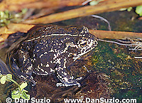 Black toad, Bufo exsul, Deep Springs Valley, California.  State-listed threatened species.