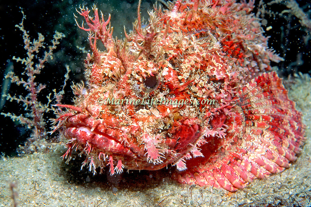 Spotted Scorpionfish most commonly inhabit reefs, but can be found in all bottom habitats in Tropical West Atlantic; picture taken Roatan, Honduras.