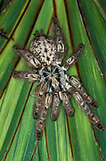 Togo or Starburst Baboon Spider, Hetroscodra maculata, Tarantula, West Africa, captive, on palm leaf