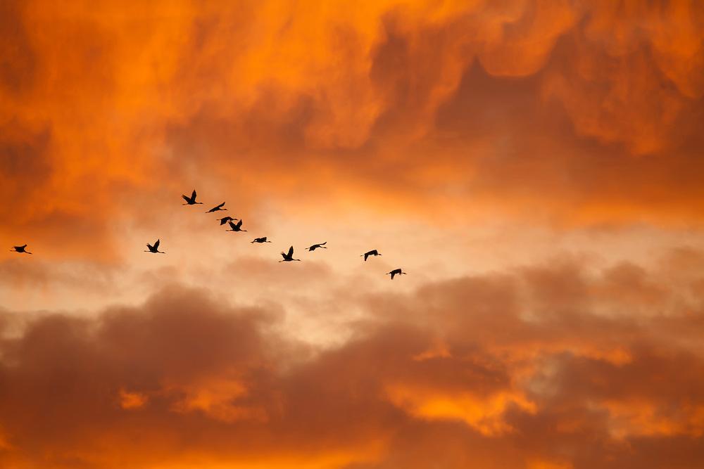 Cranes flying in last light of the sun, Lac en Der, France