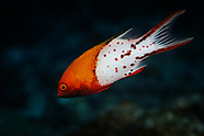 Bodianus anthioides (Lyretail Hogfish)