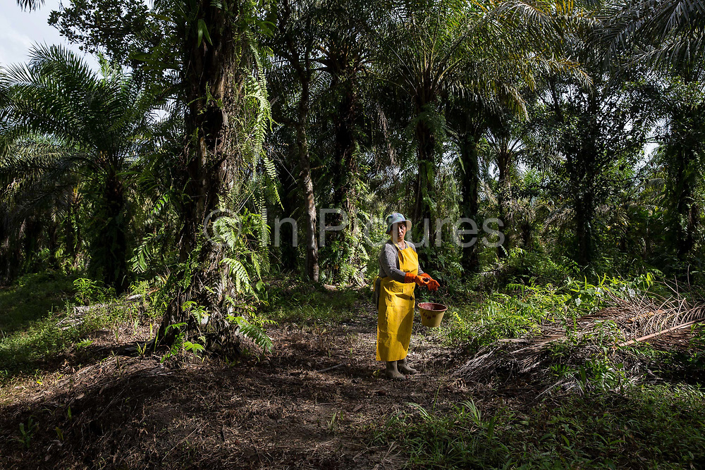 Jumatiah Binti Darmansyah - a smallholder palm oil farmer - fertilises her plot wearing protective clothing next to her home in Toniting, Beluran District, Sabah, Malaysia, on 8 September 2016. Jumatiah has been farming her small plot 1.75Ha since the 1990s. She has been able to increase her yields since becoming part of the Wild Asia Group scheme, which works with the Roundtable on Sustainable Palm Oil to support Malaysian smallholders to become certified sustainable. This includes improving farm management, reducing their use of pesticides and fertilizers, and increasing yields. Smallholders account for 40% of global palm oil production, and as such play an important role in increasing sustainability within the industry.