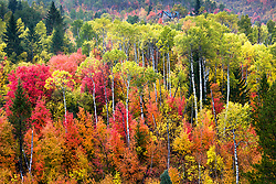 A panoply of autumn color in Swan Valley Idaho. It is a rare autumn when the aspens turn yellow while the mountain maples are still glowing red.