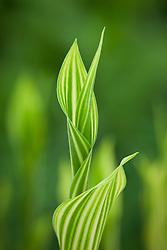 Convallaria majalis 'Albostriata'. Variegated Lily of the valley