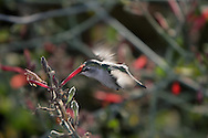 Photo Randy Vanderveen.Yuma, Arizona.A hummingbird feeds in the flowers  in the Wetlands Park of Yuma, Arizona.