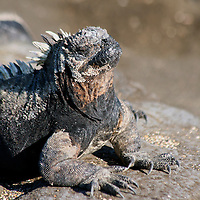 South America, Ecuador, Galapagos Islands, Santiago Island, James Island, Port Egas. Marine Iguana.