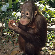 Orang-utan or Orangutan, (Pongo pygmaeus) Juvenile in nursery at Sepilok Forest Rehabilitation Center eating banana. Borneo. Malaysia. Controlled Conditons.