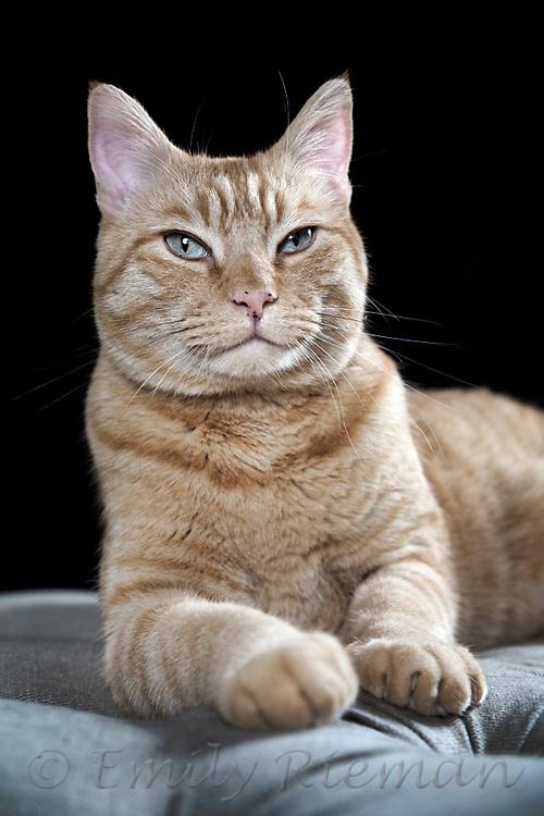 Orange tiger cat
