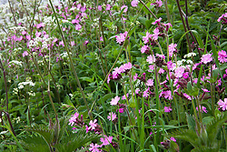 Red Campion and Cow Parsley growing on the verge of a Dorset lane. Silene dioica syn. Melandrium rubrum and Anthriscus sylvestris