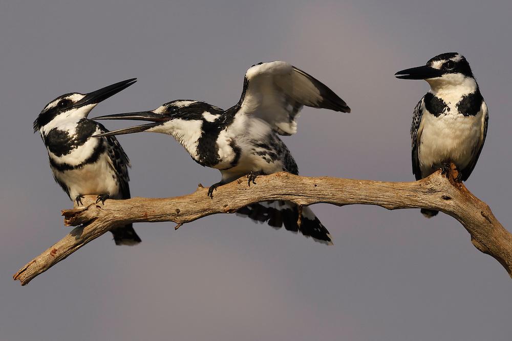 Pied kingfisher (Ceryle rudis), Zimanga Private Nature Reserve, KwaZulu Natal, South Africa