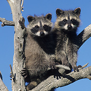 Raccoon (Procyon lotor) pair in a tree in the Rocky Mountains of Montana. Captive Animal