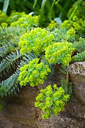 Euphorbia myrsinites AGM. Broad-leaved glaucous spurge