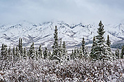 Snow falls on the higher elevations of the boreal forests and Alaskan Range of mountains in Denali National Park, McKinley Park, Alaska