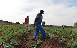 South Africa - Coronavirus - Pretoria - 19 May 2020 - Soja Mlambo and his brother Soaky runs a vegetables small farm in Soshanguve. The Mlambo family has has been running the business from2014, since then the business has been their source of income. The business is also affected by the national lockdown since they have not been seeing most of their customers, difficulty to find crops for some vegetables.<br /> Picture: Oupa Mokoena/African News Agency (ANA)