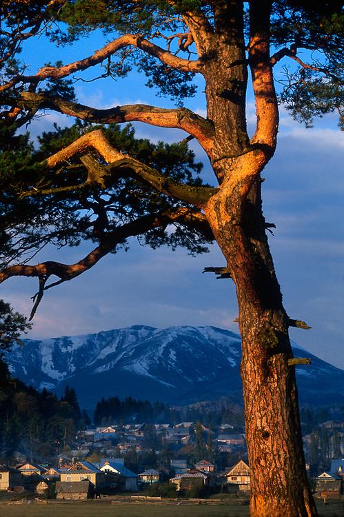 Pine tree,  Bakuriani, The Country of Georgia