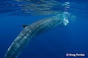 Bryde's whale, Balaenoptera brydei or Balaenoptera edeni, gulping a baitball of sardines, Sardinops sagax, off Baja California, Mexico ( Eastern Pacific Ocean ); #4 in sequence of 6