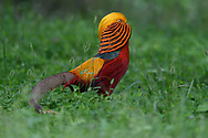A male Golden pheasant bird, Chrysolophus pictus, walking on grass in China