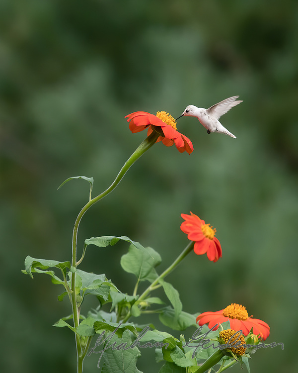 A leuscistic Ruby-throated Hummingbird feeding at Mexican Sunflowers just outside Nashville, TN. The black eye and dark bill indicate that the bird is leucistic, and not a true albino, which would have a red eye and pale pink bill and feet.