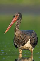 Mission: Black Storks River Elbe Germany; Biosphärenreservat Niedersächsische Elbtalaue; adult; Schwarzstorch; Black Stork; Ciconia nigra; Biosphere Reserve Middle Elbe