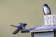 Tree Sparrows, Montana