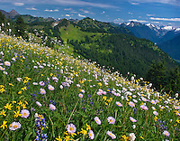 Mt. Baker Wilderness Area, Excelsior Pass, Wildflowers, North Cascades, WA