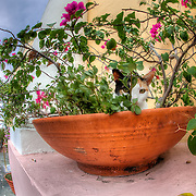 A mean cat sits in a flower pot at Hotel Convento in Old San Juan, Puerto Rico on Sunday morning, March 20, 2011.