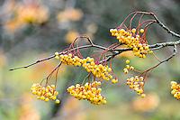 Norway, Sandnes. Colourful rowan berries in Rogaland Arboret.