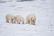 01874-11606 Polar Bears (Ursus maritimus) female and 2 cubs, Churchill Wildlife Management Area,  MB