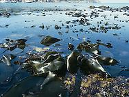 Kelp Bed - Laminaria digitata