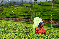 Sri Lanka, province de l'Uva, Haputale, Lipton's Seat, plantations de thé, cueillette de thé, cueilleuses tamoules // Sri Lanka, Ceylon, Central Province, Haputale, tea plantation in the Highlands near Lipton's seat, Tamil women tea picker picking tea leaves