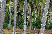 Coconut plantation near Mysore/Mysuru, Karnataka
