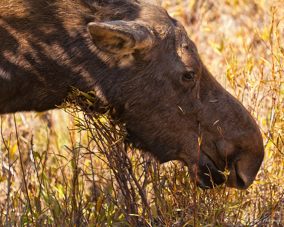 A cow moose snacking in Grand Teton National Park