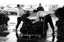 Taranto, città vecchia, mercato del pesce, pescatori che scaricano le cozze.