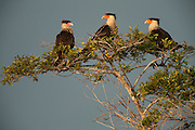 Crested Caracara (Polyborus plancus) <br /> Savannah<br /> Rupununi<br /> GUYANA. South America<br /> RANGE: Central and South America and South West USA and Florida