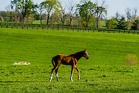 Thoroughbred foal, Winstar Farm, Versailles (Lexington), Kentucky USA.