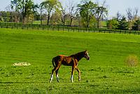 Thoroughbred foal, Winstar Farm, Versailles (Lexington), Kentucky USA.